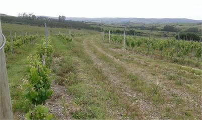 Beautifull Vineyard in Uruguay